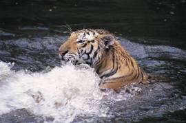 TigerSwim